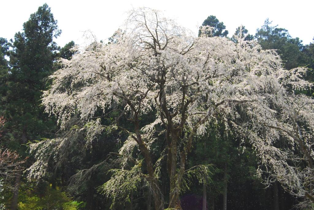 原の和武桜の写真